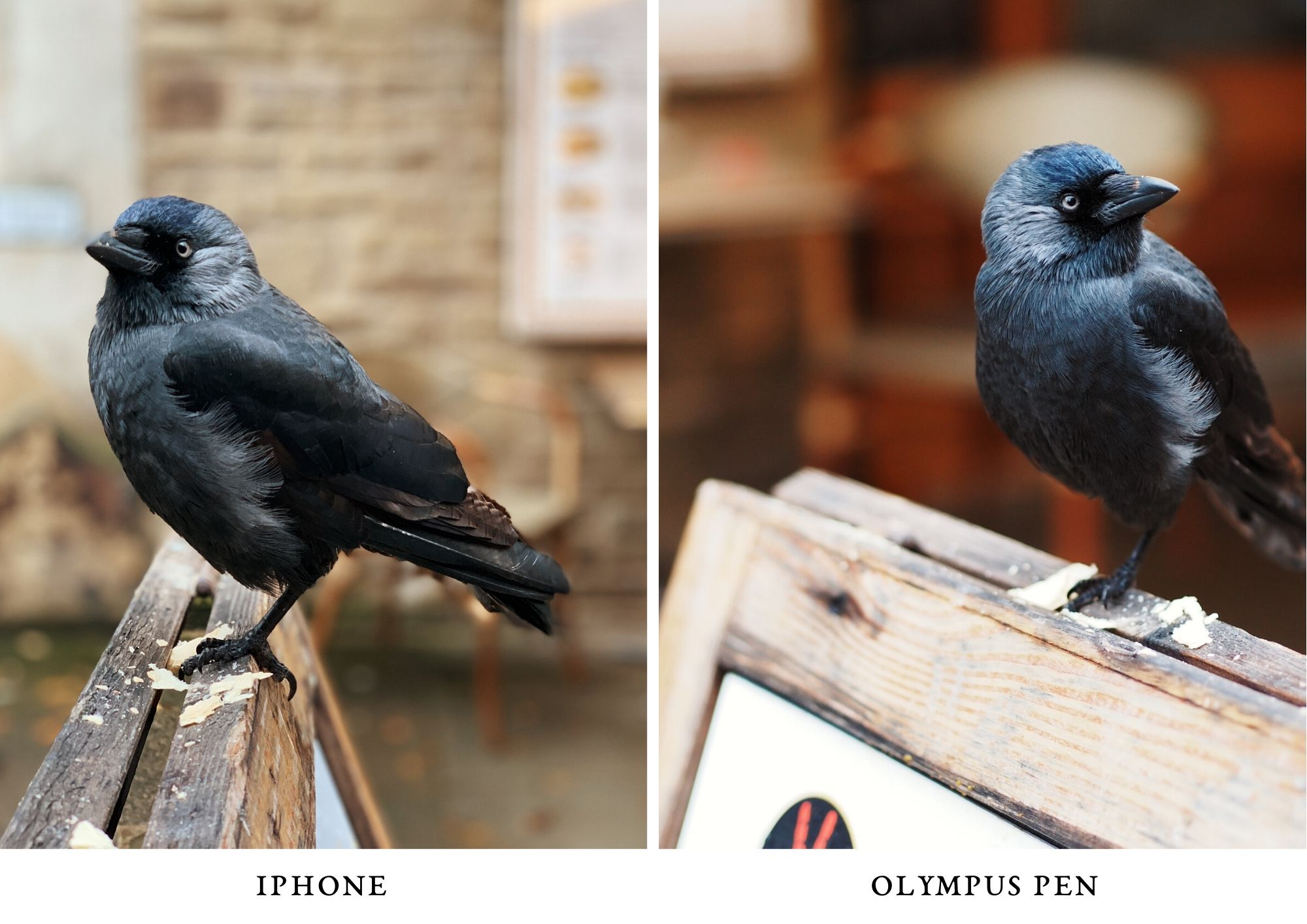 jackdaw - photo olympus PEN and iPhone comparison