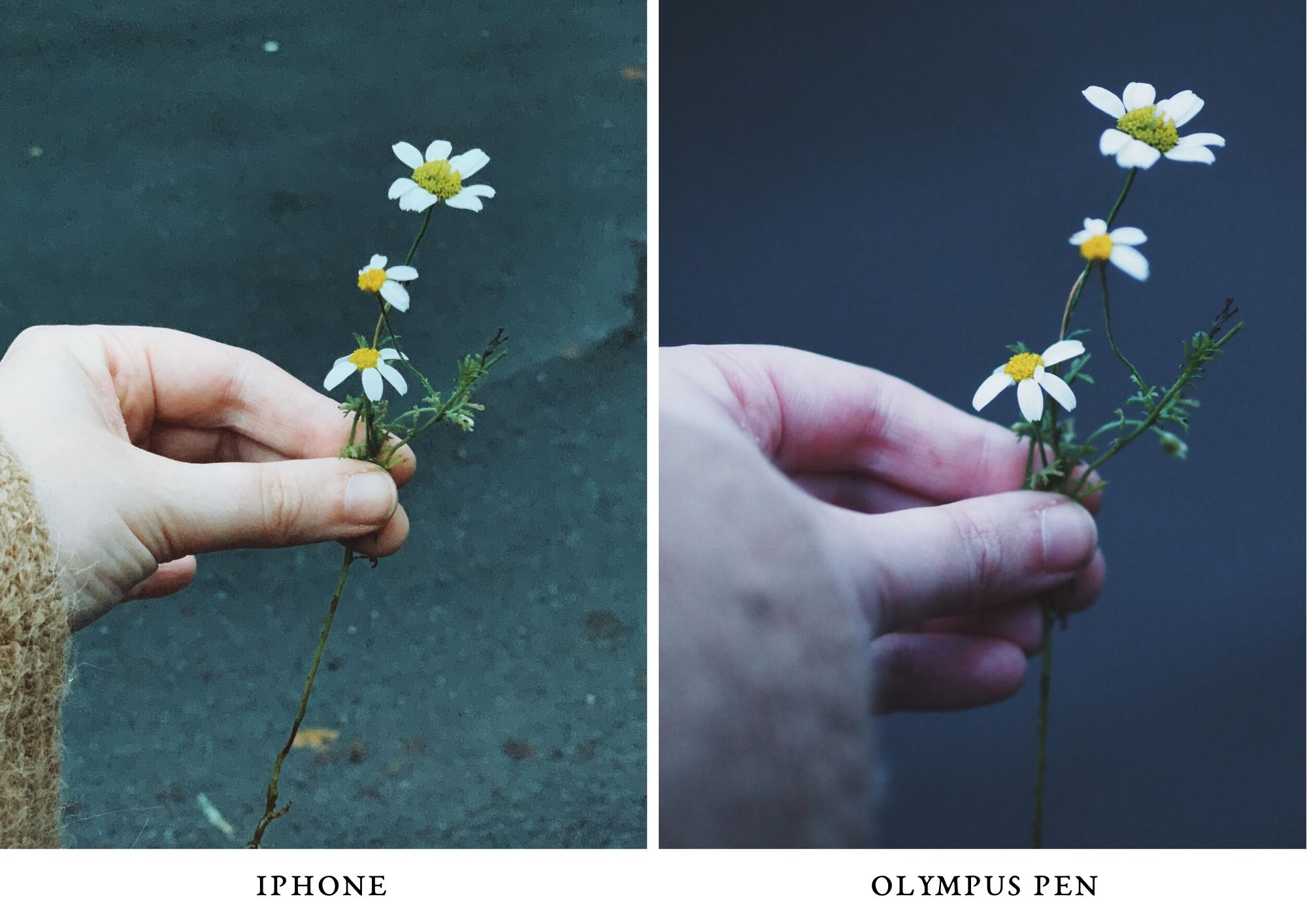 flower - photo olympus PEN and iPhone comparison